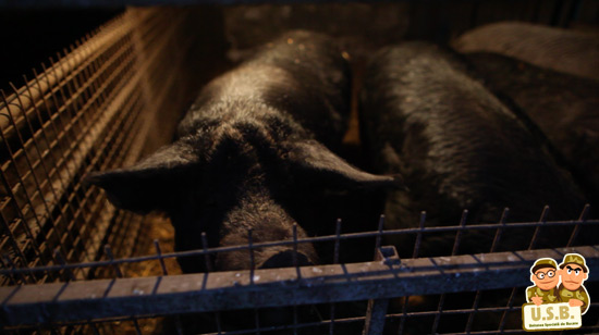 macpixel butchering a pig2